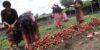 radish-harvesting