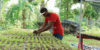 kobonal-haiti-community-gardens-1